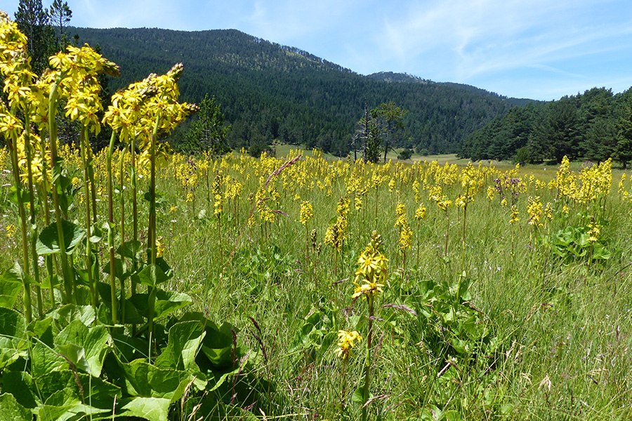 Peuplement dense de Ligulaire de Sibérie (<em>Ligularia sibirica</em>), espèce boréale caractéristique de zone humide, relictuelle dans quelques secteurs isolés en France.