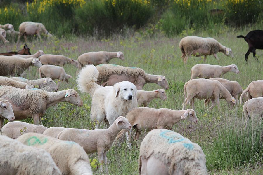 Le pâturage ovin entretient et modèle les paysages emblématiques de grands espaces de pelouses sèches, ex. les Grands Causses.