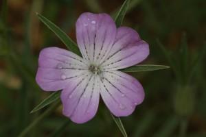 Nielle des blés, espèce messicole très commune jadis, devenue rare, voire très rare en France. Espèce issue par sélection involontaire au sein du champ cultivé d'une espèce sauvage des steppes de l'Est de la Méditerranée