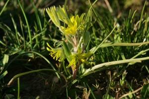 Gagée des champs, petite espèce bulbeuse messicole à floraison très précoce (en mars dans le sud de la France)