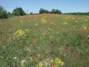 Parcelle très riche en messicole à basse altitude dans le Gard (présence de Legousia speculum-veneris, Valerianella echinata, Asperula arvensis, Adonis annua, etc.)