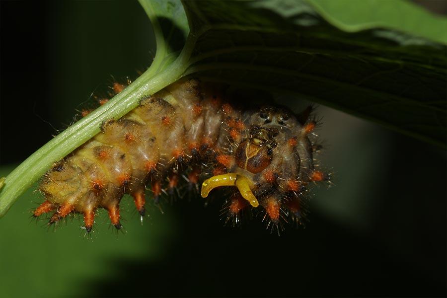 Chenille de Diane (<em>Zerynthia polyxena</em>), montrant deux protubérances jaunes, l'osmatérium, organe répandant une odeur dissuasive pour les prédateurs.