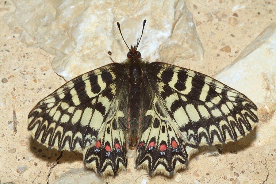 la Diane (<em>Zerynthia polyxena</em>), espèce d'Europe méridionale protégée présente en zone méditerranéenne française jusqu'en Ariège qui constitue la limite occidentale absolue de l'aire de répartition de l'espèce.