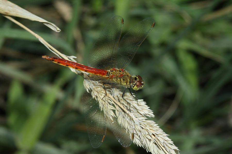 le Sympétrum déprimé (<em>Sympetrum deprssiusculum</em>), espèce centre-européenne rare en France.