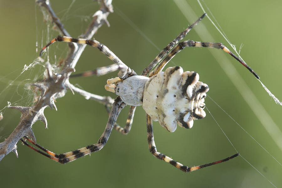 l'Argiope lobée (<em>Argiope lobata</em>), espèce méditerranéenne d'araignée remarquable par sa taille et sa forme. Elle est assez commune près des côtes, plus rare dans les terres.