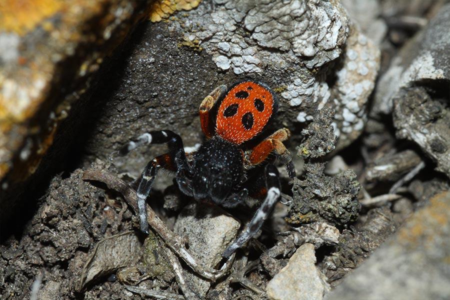 L'Erèse de Kollar (<em>Eresus kollari</em>), espèce euro-sibérienne d'araignée remarquable par sa coloration. Elle est assez rare en France et liée à des habitats intéressants de pelouses sèches.