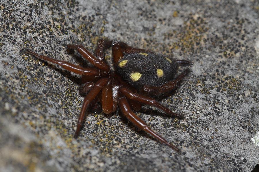 l'Uroctée de Durand (<em>Uroctea durandi</em>), espèce méditerranéenne d'araignée reconnaissable à son habitus et sa toile caractéristiques. Elle est assez commune en France méditerranéenne et se déniche facilement sous les pierres ou à l'extérieur de vieux bâtis.