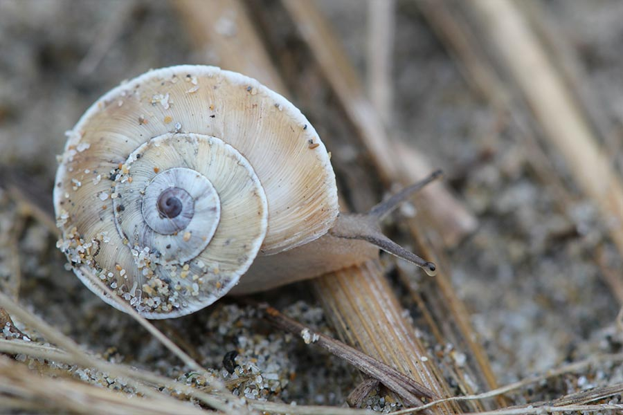 la Caragouille des dunes (<em>Xerosecta explanata</em>), escargot méditerranéen franco-ibérique lié aux dunes littorales devenu rare et menacé.