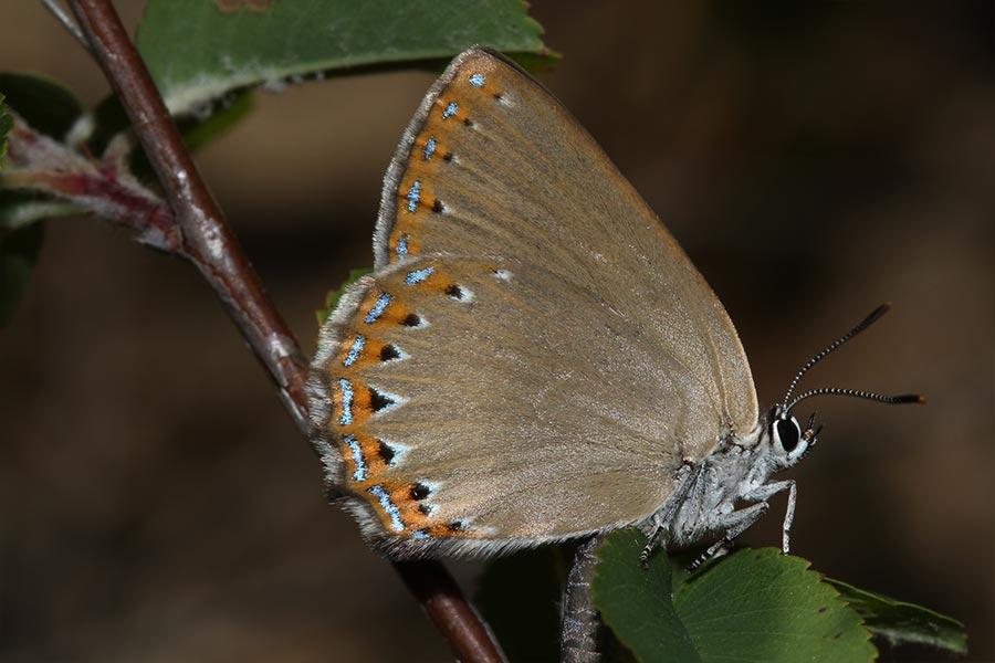 la Thècla du frêne (<em>Laeosopis roboris</em>), espèce franco-ibérique de papillon de jour assez rare en France et limitée à la zone méditerranéenne. Comme son nom vernaculaire l'indique, elle est liée aux espèces de frênes.