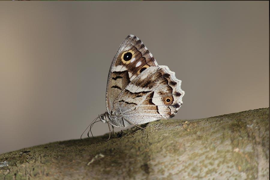 le Chevron blanc (<em>Hipparchia fidia</em>), espèce ibéro-maghrebine de papillon de jour assez commune en France mais seulement en zone méditerranéenne.