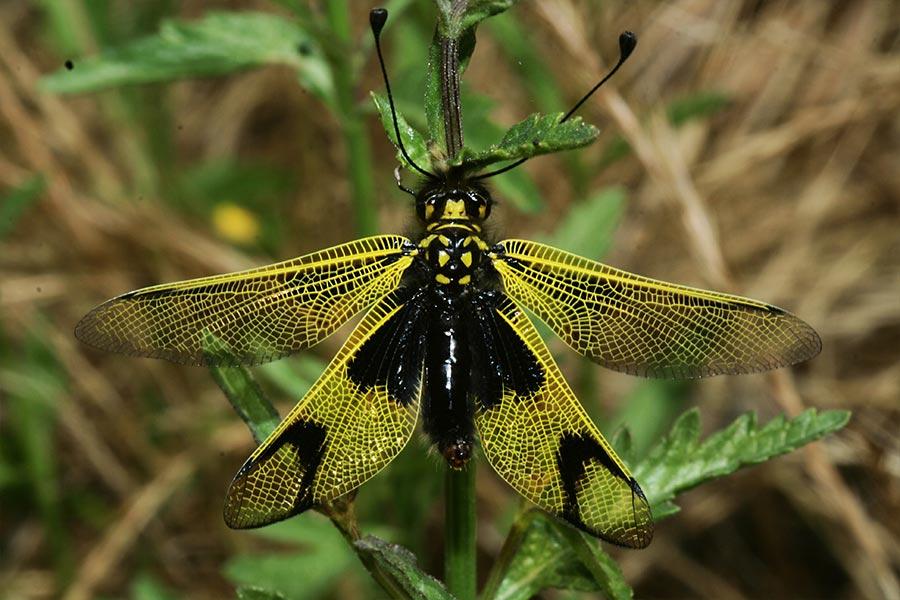 l'Ascalaphe longicorne (<em>Libelloides longicornis</em>), espèce de névroptère (insecte à ailes très veinées formant un réseau) liée aux pelouses sèches à vol « féerique » caractéristique.