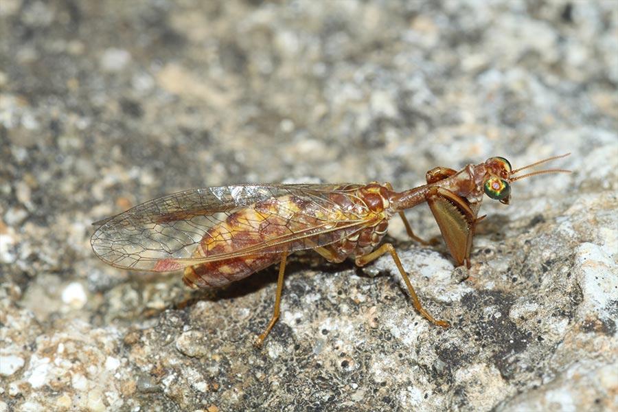 la curieuse Mantispe styriaque (<em>Mantispa styriaca</em>), espèce de névroptère (insecte à ailes très veinées formant un réseau) à pattes ravisseuses analogues à celles des mantes religieuses. Un exemple de convergence évolutive car ces deux espèces ne sont pas apparentées.