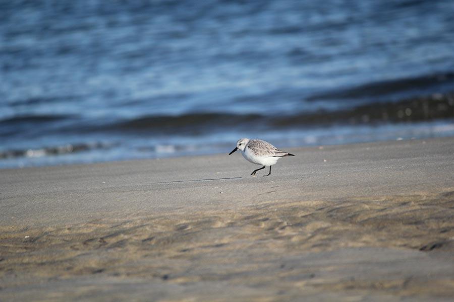 le Bécasseau sanderling (<em>Calidris alba</em>), migrateur et visiteur d'hiver, il niche dans la toundra sibérienne. Il est régulièrement observé sur les côtes atlantiques et méditerranéennes se jouant des vagues à la quête de petits crustacés et insectes.