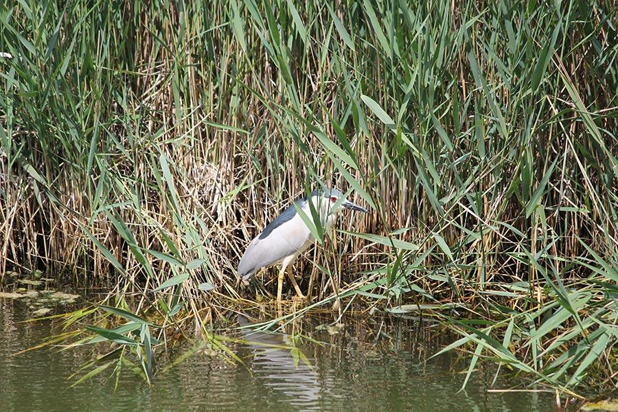 le Bihoreau gris (<em>Nycticorax nycticorax</em>) et l'art de la discrétion. Un hôte régulier de nos marais. Discret non pas par son plumage, mais par son attitude et ses mœurs plutôt crépusculaires et nocturnes.