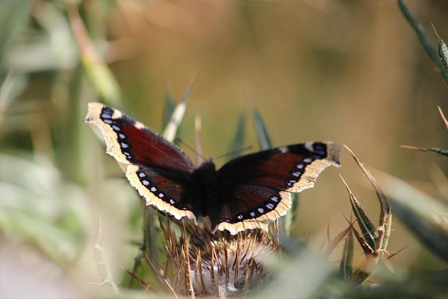 le Morio (<em>Nymphalis antiopa</em>), grande espèce de papillon caractéristique répandue en France mais en régression très forte dans ses bastions de plaine. C'est le symbole pour nous de la nature autrefois « ordinaire » qui est devenue « remarquable ».