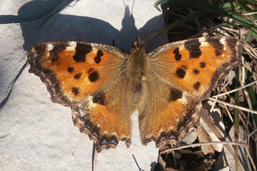 la Grande Tortue (<em>Nymphalis polychloros</em>), autre grande espèce de papillon encore commune en France appartenant au genre Nymphalis.