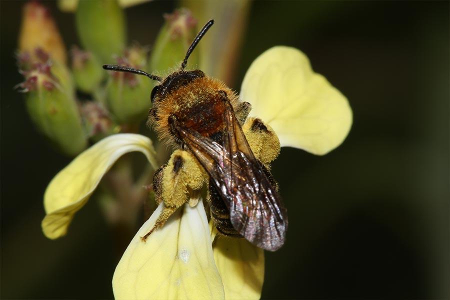 un exemple très répandu de coopération entre espèces dans la nature : la pollinisation des plantes à fleurs par les insectes (ici <em>Andrena lagopus</em> sur une fleur de radis sauvage). L'insecte y gagne une provision de nourriture, la plante le transport de son pollen.