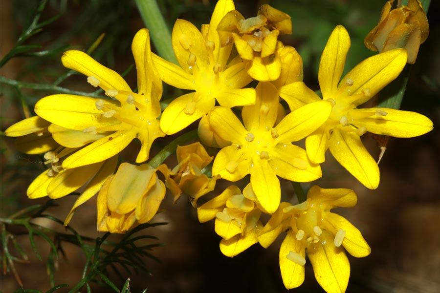 l'Ail doré (<em>Allium moly</em>), espèce protégée rare en France mais plus commune en Espagne