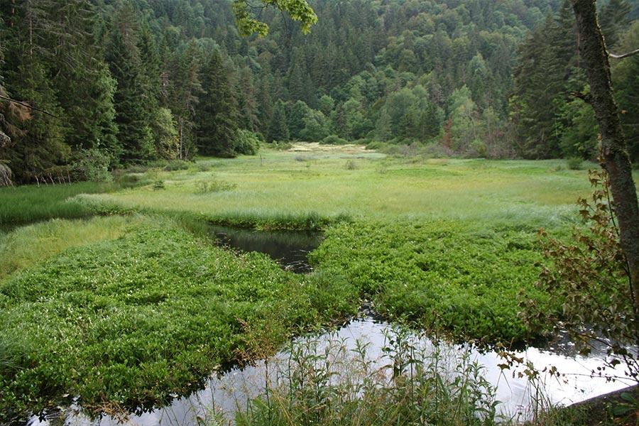 Tremblant tourbeux (Habitat Natura 2000 : 7140) colonisant un étang dans les Vosges.