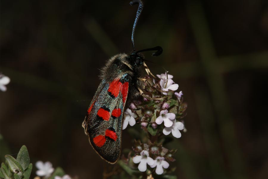 la Zygène cendrée (Zygaena rhadamanthus), une des rares espèces de papillon de nuit protégée, essentiellement présente dans le tiers sud-est de la France : régions PACA, L-R et M-P. Ce papillon de nuit vole… le jour comme tous ses congénères, les zygènes.