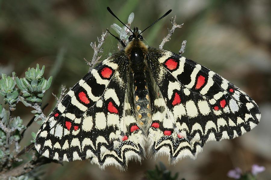 la Proserpine (Zerynthia rumina), espèce méditerranéenne protégée encore assez commune. La chenille se développe exclusivement aux dépens des aristoloches (surtout Aristolochia pistolochia et A. paucinervis).