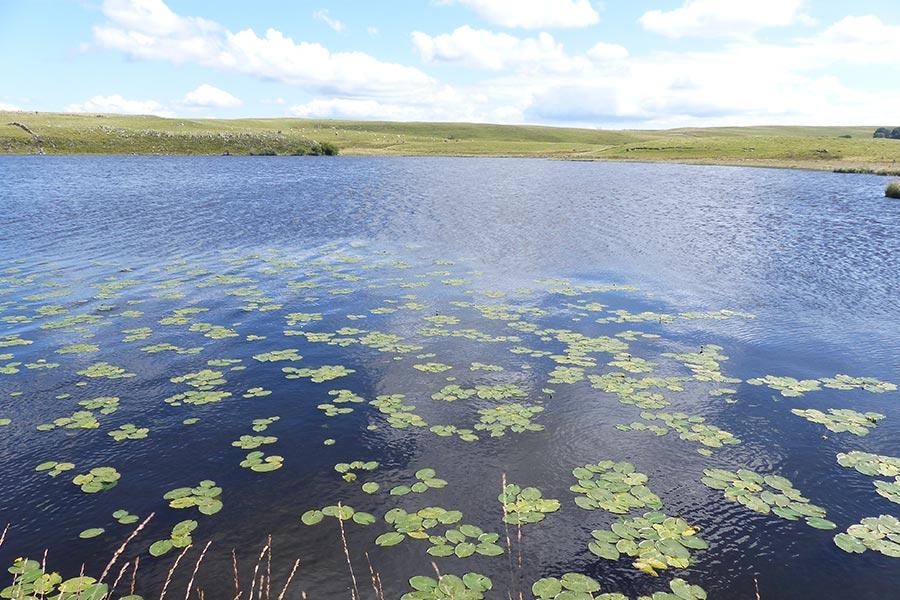 Lac naturel à Petit Nénuphar (Habitat Natura 2000 : 3150) sur l'Aubrac lozérien.