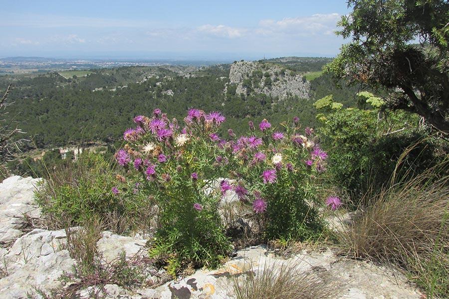 la Centaurée de la Clape (Centaurea corymbosa), espèce endémique de la Montagne de la Clape, protégée à l'échelon européen. C'est, en effet, l'une des rares espèces françaises de plante inscrite à l'annexe 2 de la Directive habitats.
