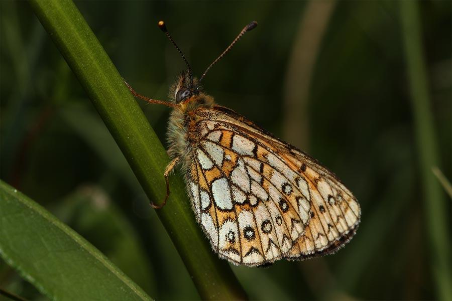 le Nacré de la Bistorte (<em>Boloria eunomia</em>), espèce boréale habitant les prairies humides, relictuelle dans quelques secteurs isolés en France.
