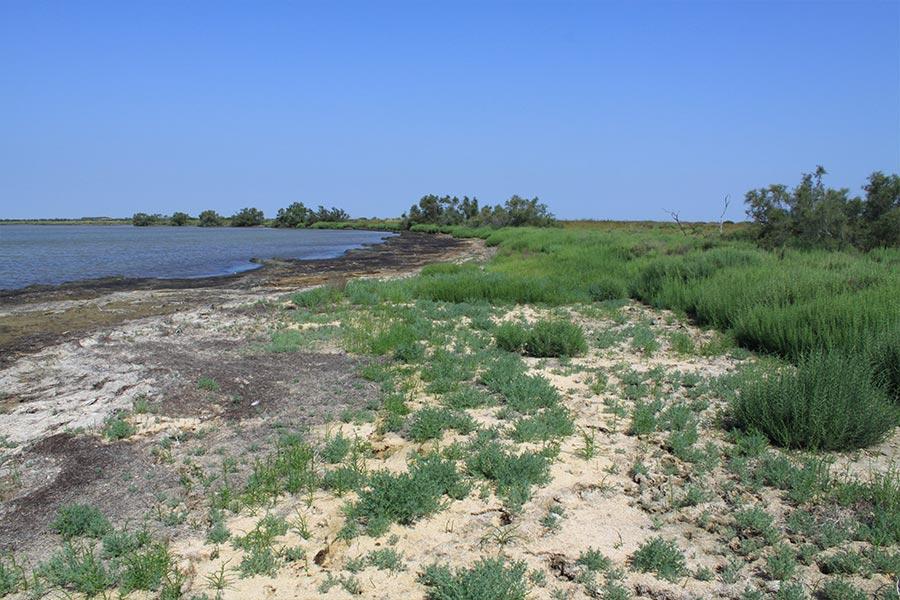 Végétation spécifique de laisses d'étang saumâtre à Bassia hirsuta (Habitat Natura 2000 : 1150) en Camargue.