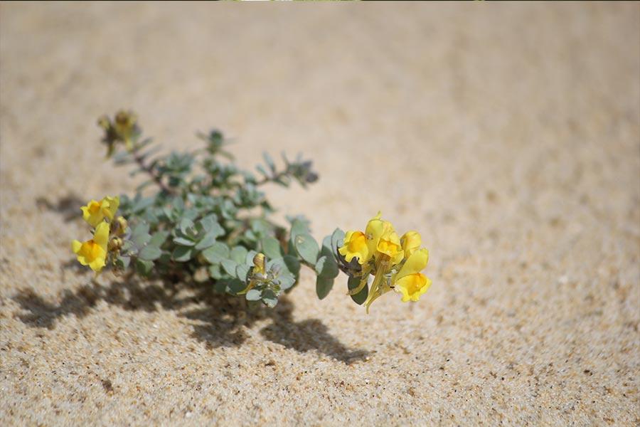 la Linaire à feuilles de thym (Linaria thymifolia), espèce protégée, endémique des dunes sud-atlantiques françaises. L'espèce est encore assez commune mais a fortement régressé du fait des aménagements littoraux.