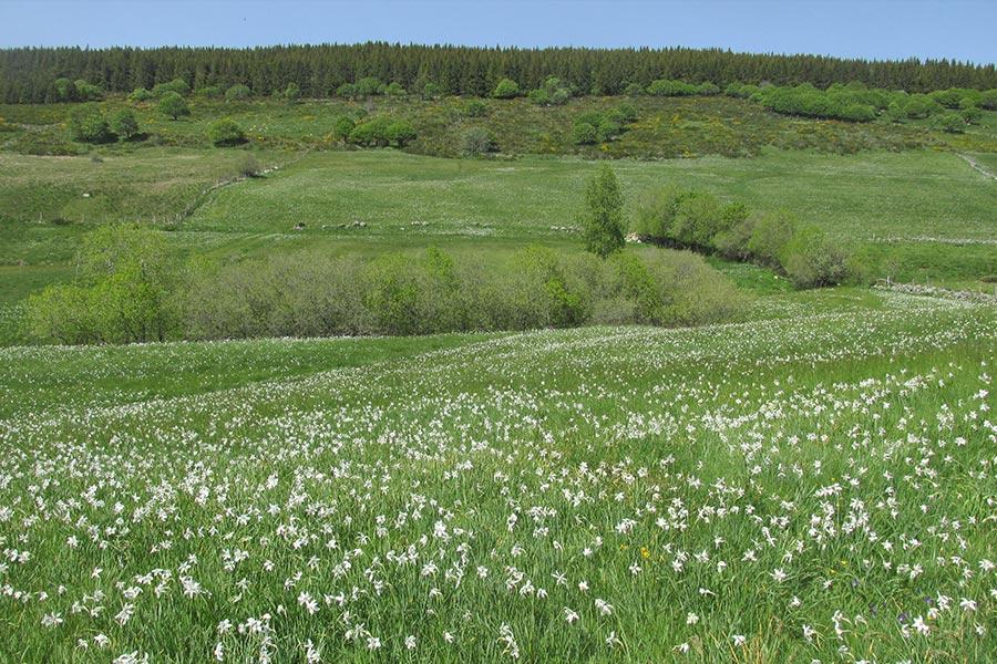 Prairie de fauche montagnarde à Narcisse des poètes (Habitat Natura 2000 : 6520) sur le Mont Lozère.