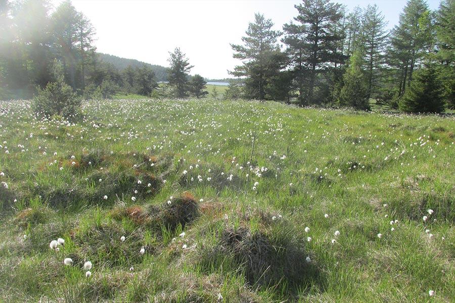 Tourbière haute active (Habitat Natura 2000 : 7110) sur le Mont Lozère.