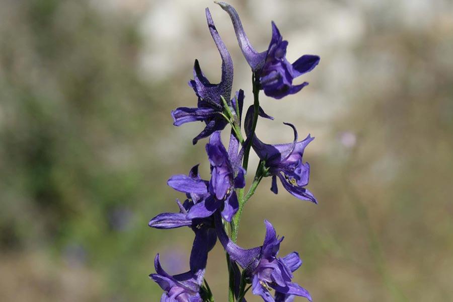 la Dauphinelle de Bresse (Delphinium verdunense), espèce franco-ibérique protégée, en forte régression en France car habitante des cultures extensives.