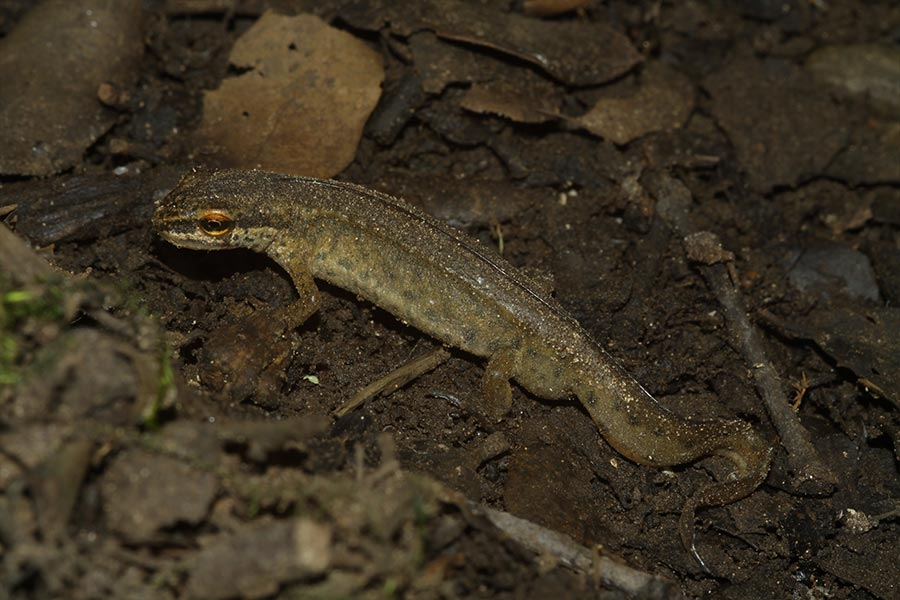 le Triton palmé (<em>Lissotriton helveticus</em>), espèce commune en France.