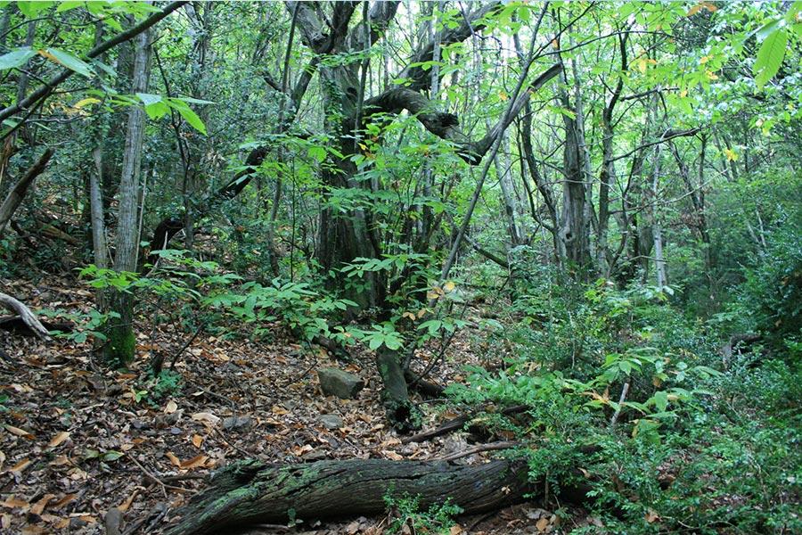 Châtaigneraie dans les Cévennes (Habitat Natura 2000 : 9260)