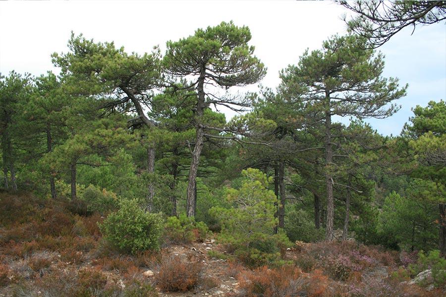 Pinède à Pin de Salzmann (Habitat Natura 2000 : 9530) dans les Cévennes.