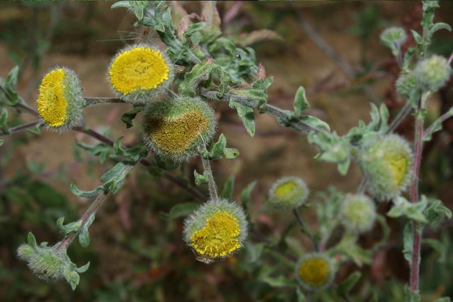 l'Herbe de Saint-Roch (Pulicaria vulgaris), espèce protégée des zones humides, en forte régression en France. Elle fréquente les habitats temporairement inondés : mares temporaires, berges de cours d'eau…