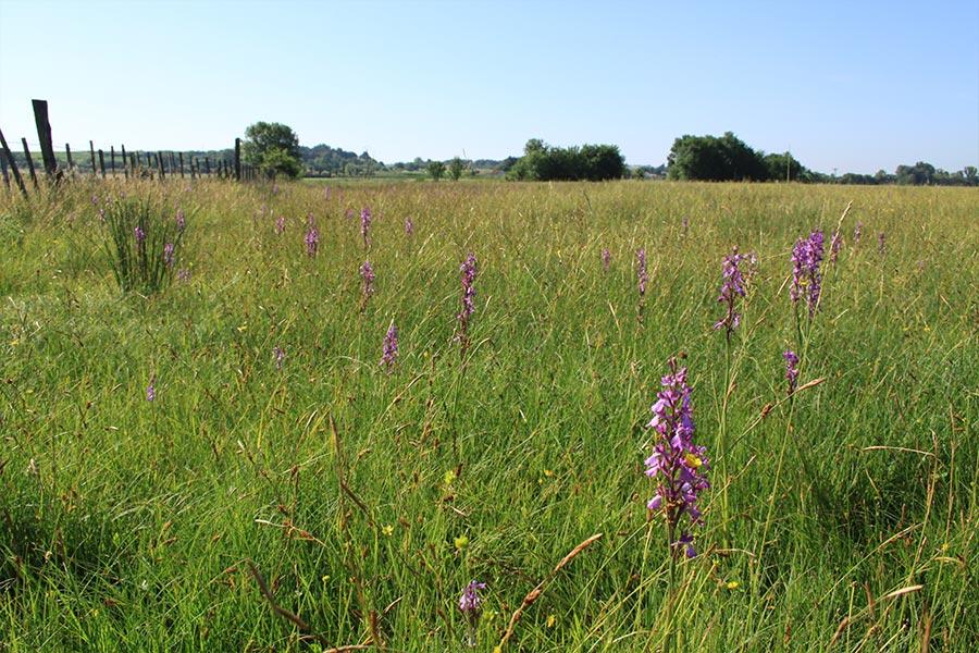 Prairie de fauche hygrophile à Orchis des marais (Habitat Natura 2000 : 6510) en Petite Camargue.