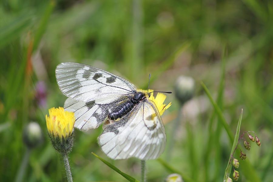 le Semi-Apollon (Parnassius mnemosyne), espèce protégée en régression en France. Elle fréquente les habitats peu perturbés de moyenne montagne où la Corydale, sa plante-hôte, est abondante. Elle a été choisie pour évaluer la qualité et la cohérence de la trame verte nationale.