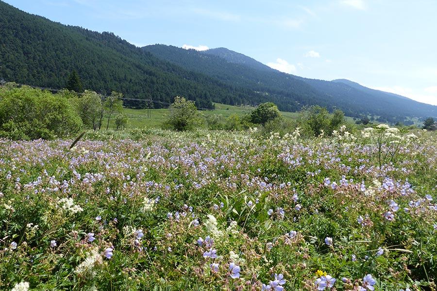 Mégaphorbiaie rivulaire à Géranium des prés (Habitat Natura 2000 : 6430) dans le Capcir.