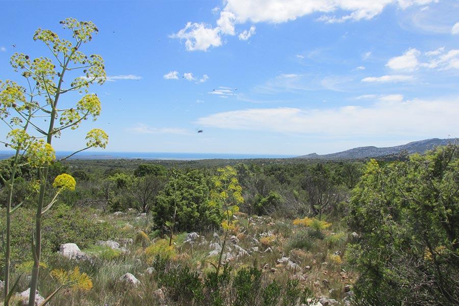 Pelouse sèche méditerranéenne à Brachypode rameux et Férule (Habitat Natura 2000 : 6220) et garrigue dans la Montagne de la Clape.