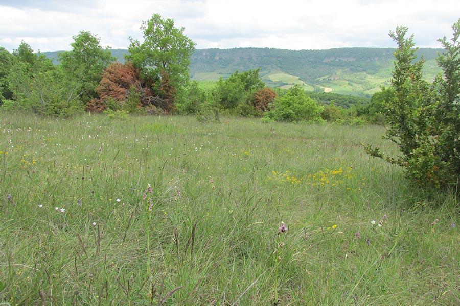 Pelouse sèche à orchidées, avec ici Ophrys aveyronensis (Habitat Natura 2000 : 6210) sur le Causse du Larzac, partie aveyronnaise.