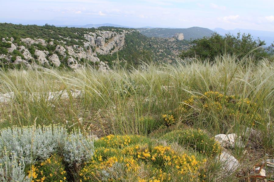 Lande et pelouse sèches montagnardes méditerranéennes à Genêt de Lobel et Santoline de Provence (Habitat Natura 2000 : 4090) sur la Sainte-Baume.