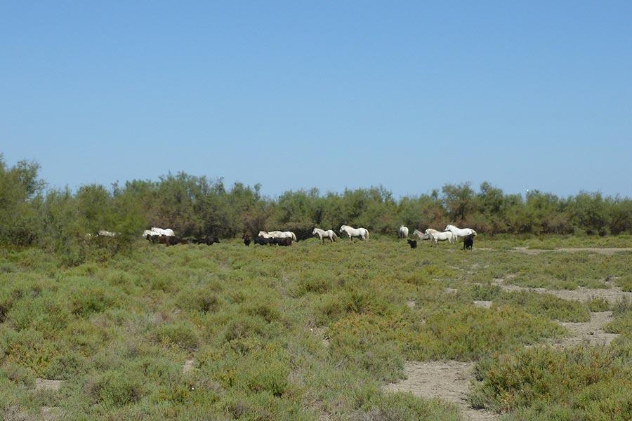 Pâturage mixte (équins et bovins) des vastes espaces camarguais. Un mode de gestion des espaces ouverts ancestral et bénéfique pour de nombreux êtres vivants habitants du delta.