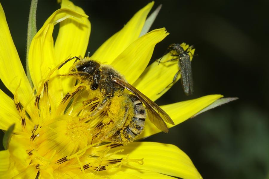 un exemple très répandu de coopération entre espèces dans la nature : la pollinisation des plantes à fleurs par les insectes (ici la commune <em>Halictus scabiosae</em> sur une fleur de salsifis sauvage)