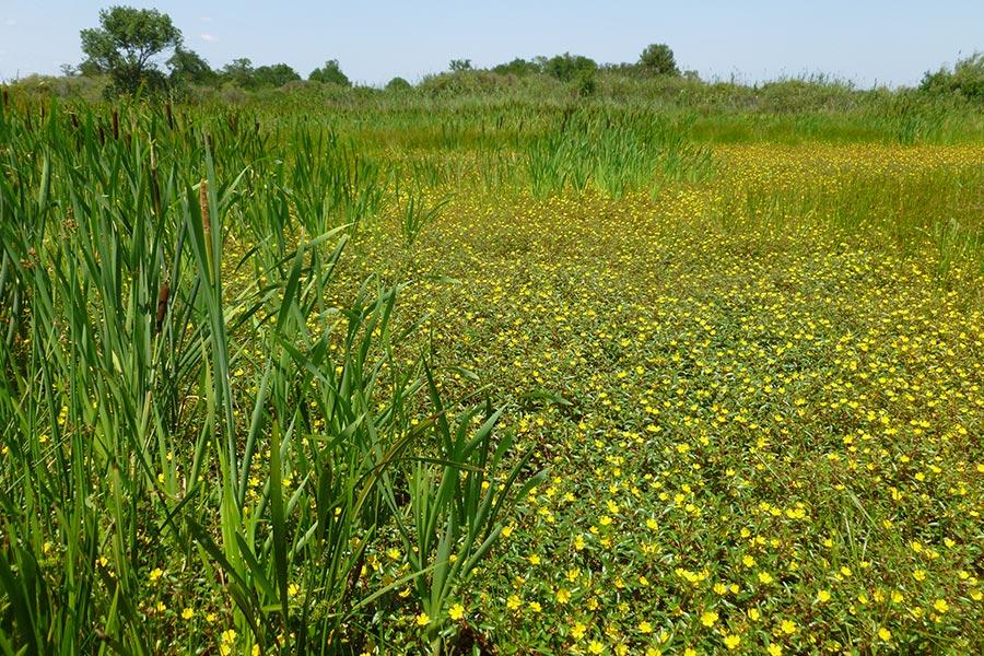 Gestion expéditive au glyphosate (herbicide) d'espèces envahissantes (Jussies) d'un étang de chasse en période d'assec. Au centre, une bande verte oubliée par le traitement ! L'efficacité de cette méthode reste à démontrer mais sa nocivité pour bon nombre d'espèce aquatiques est probable…