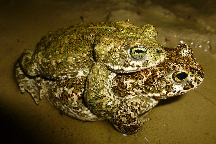 accouplement de crapauds calamites (Bufo calamita). L'espèce est protégée et relativement commune dans le sud de la France.