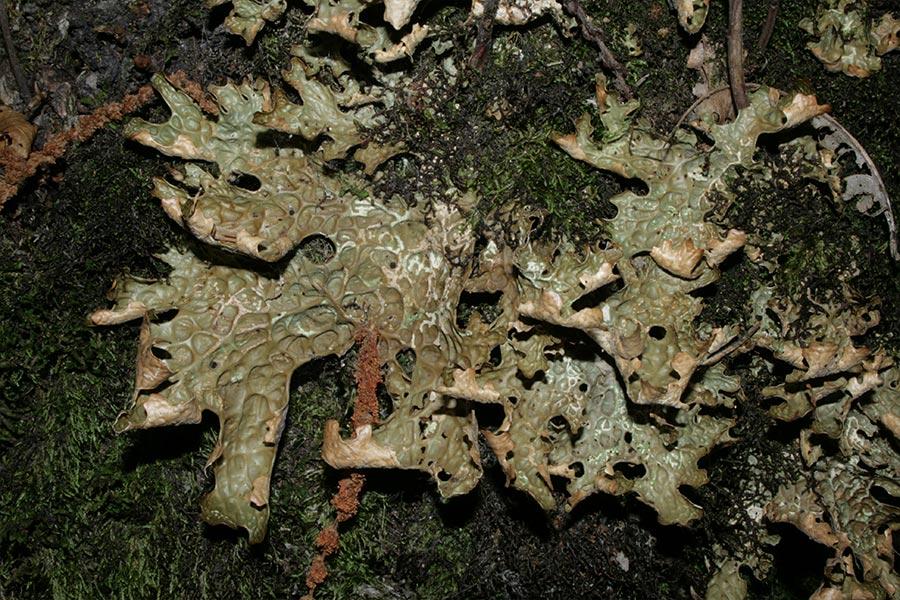 un exemple connu de coopération très rapprochée (ou symbiose) entre deux espèces dans un environnement hostile : le lichen (ici <em>Lobaria pulmonaria</em>). Sorte de chimère à bénéfices et efforts partagés entre une algue et un champignon.