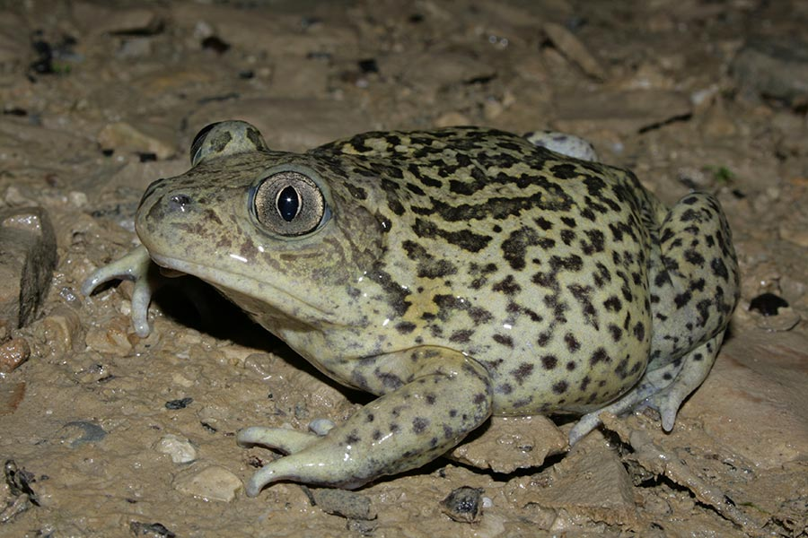 Pélobate cultripède (<em>Pelobates cultripes</em>), grosse femelle observée au printemps dans une lavogne.