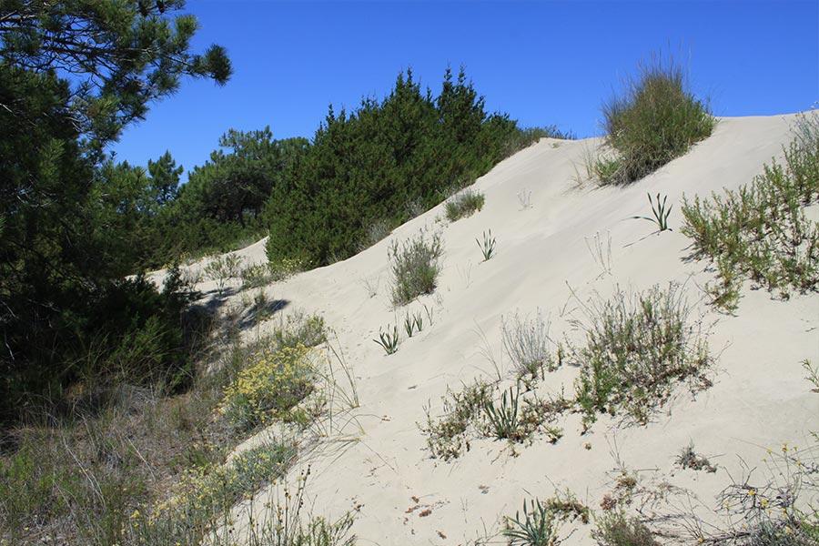 Dune à Genévrier rouge (Habitat Natura 2000 : 2250) en Camargue.